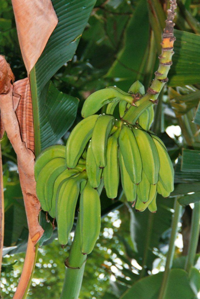 croisiere-venezuela-2002-bananes