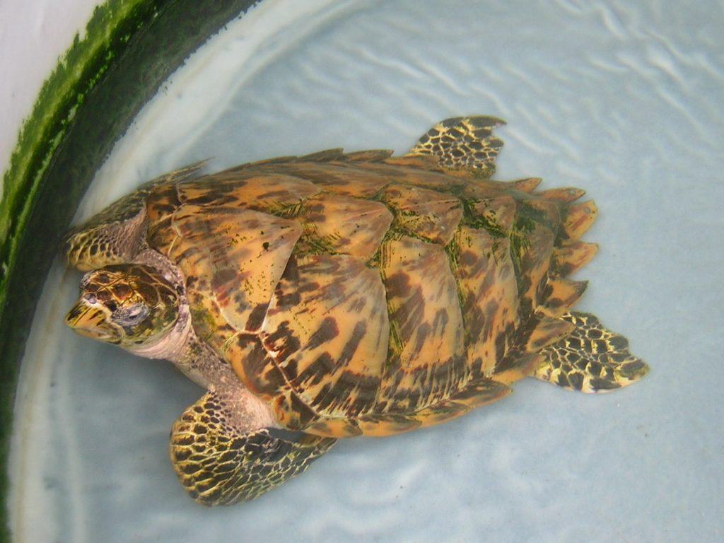 caraibes-janv-2008-en-cata-tortue-mer-bequia