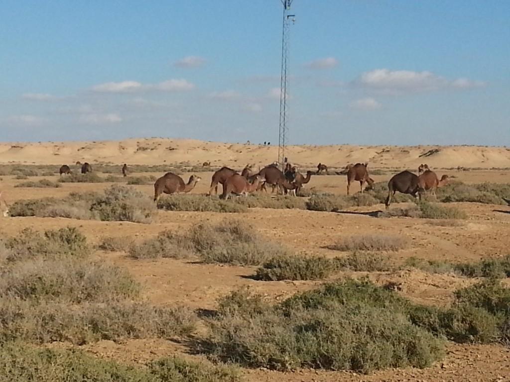 desert-tunisien-j6-troupeaux-bord-route