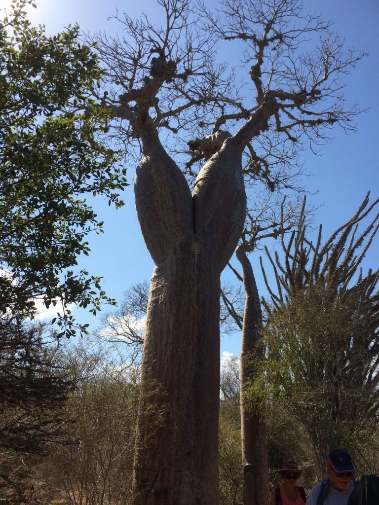 j12-baobab-cuisse-de-nymphe