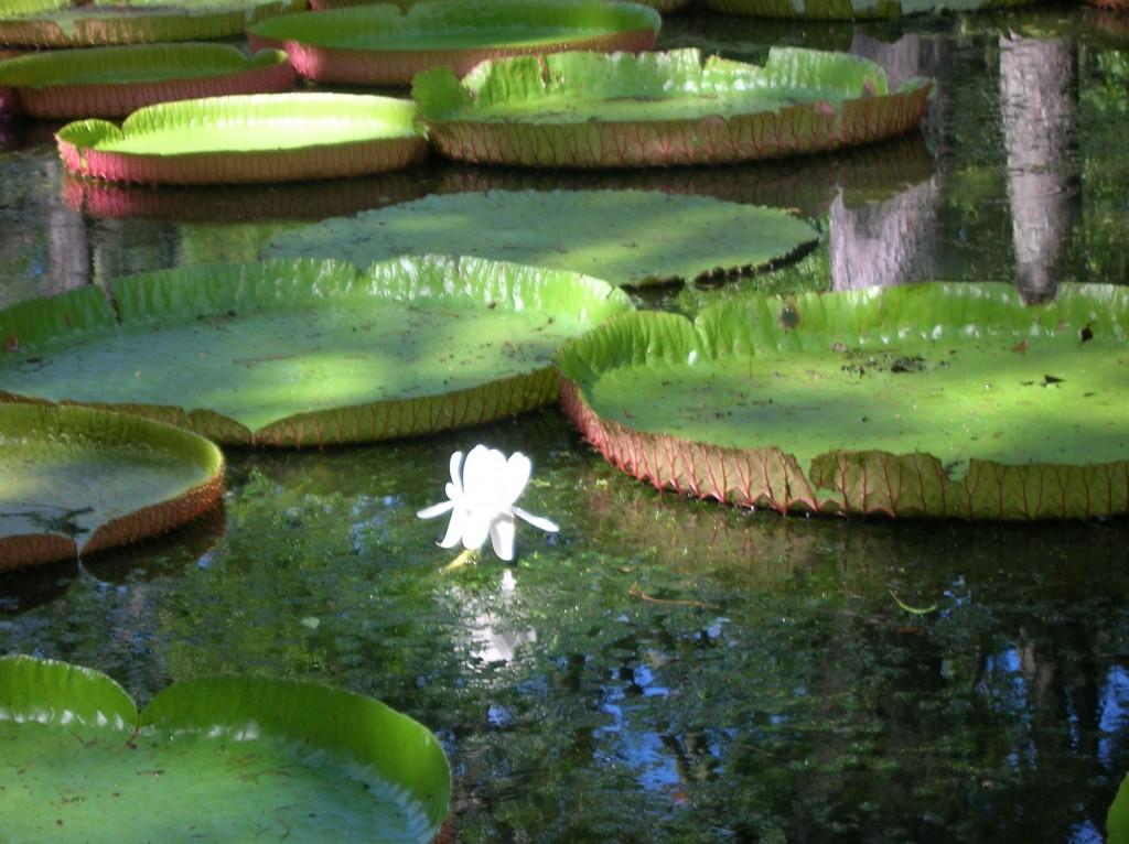 jardin-pamplemousse-ile-maurice-nenuphar-geant