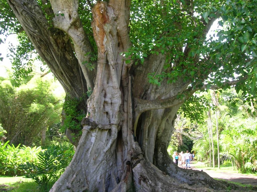 jardin-pamplemousse-ilemaurice-arbre-majestueux