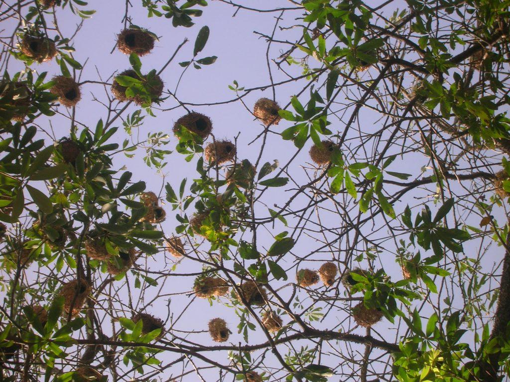 RIDS-nov-2008-nids-oiseaux-djilor