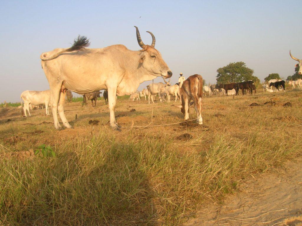 RIDS-nov-2008-troupeaux-afrique
