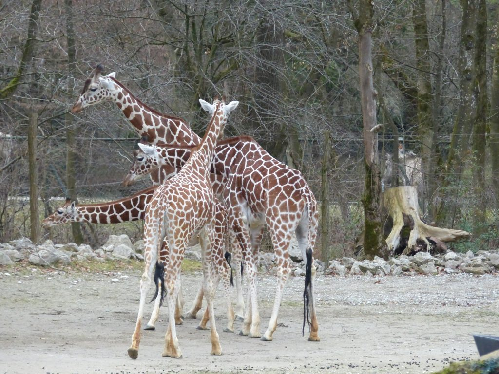 j6 girafes curieuses zoo munich nel 2016