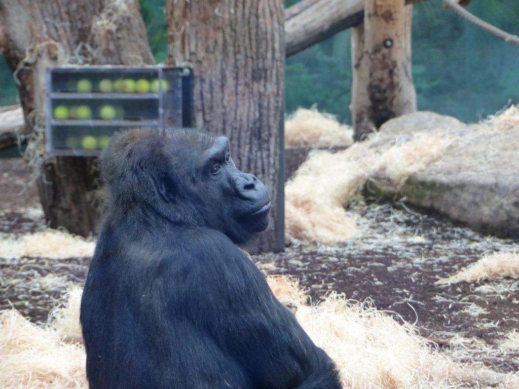 j6 gorille zoo munich noel 2016