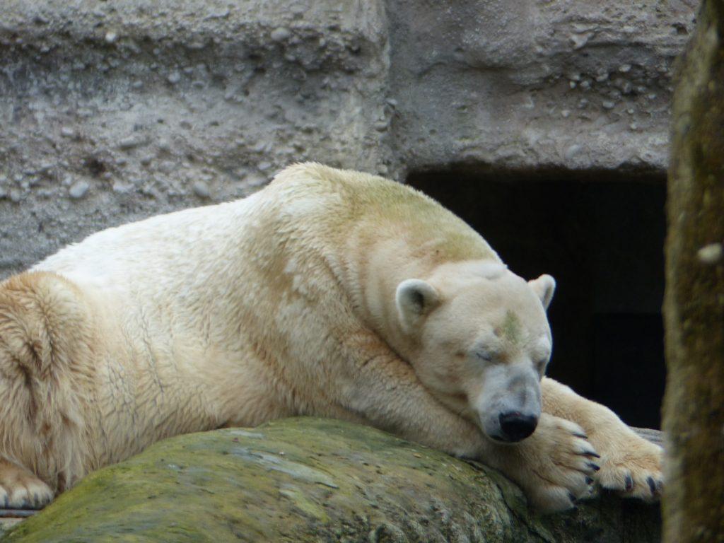 j6 sieste de noel pour ours zoo munich 2016