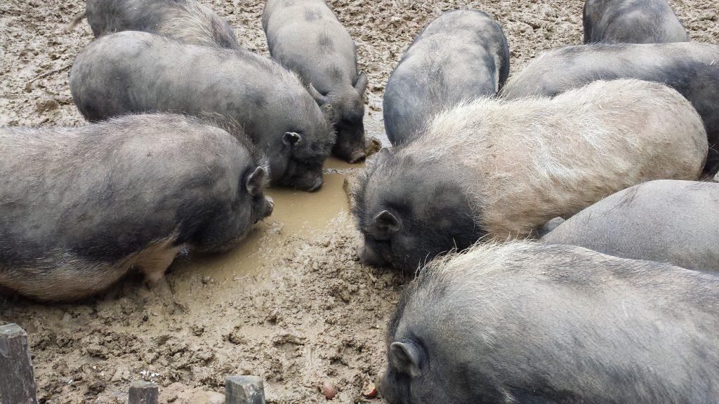 2014-mai-cochons-ferme-guedelon-MFV