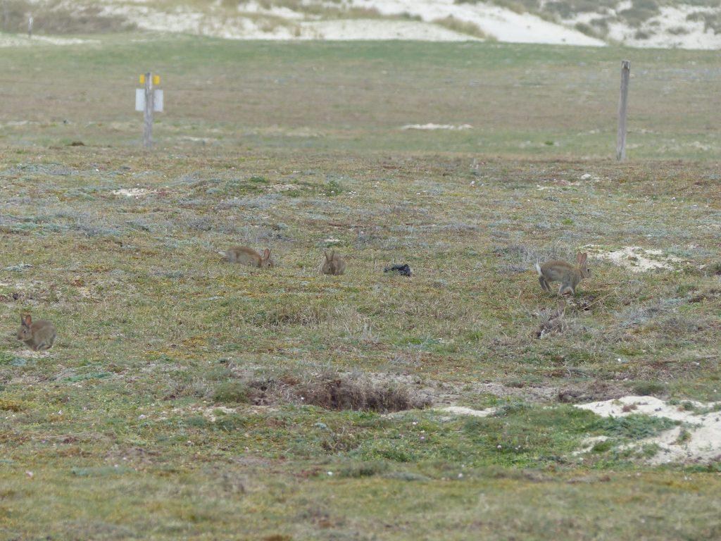 avril-2017-MFV-lande-Latorche-lapins
