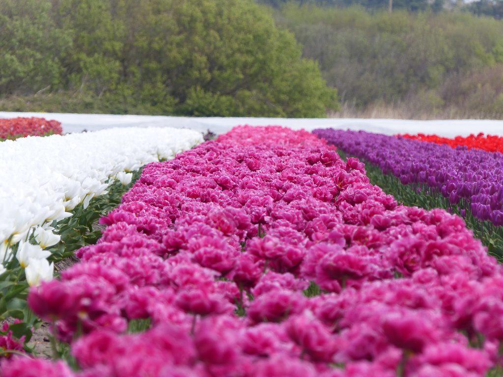 avril-2017-MFV-tulipes-latorche