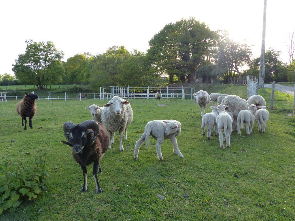 avril17-moutons-domaine-varennes-MFV